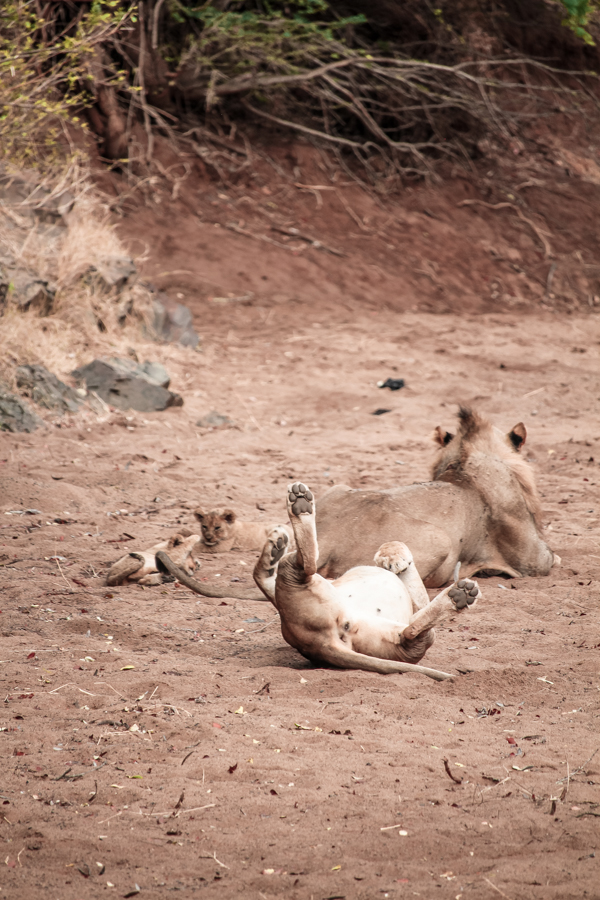 Five new lion cubs at Rhino River Lodge