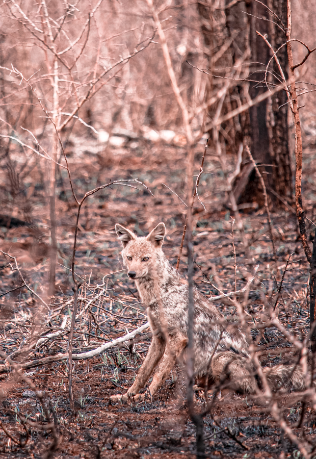 A jackal at Manyoni Game Reserve