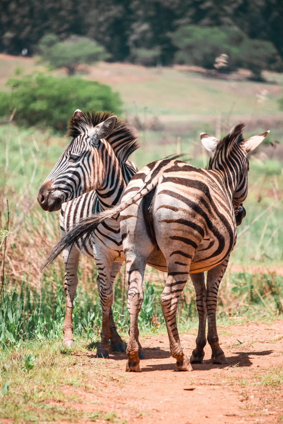 Two zebras in Mlilwane National Park in Swaziland