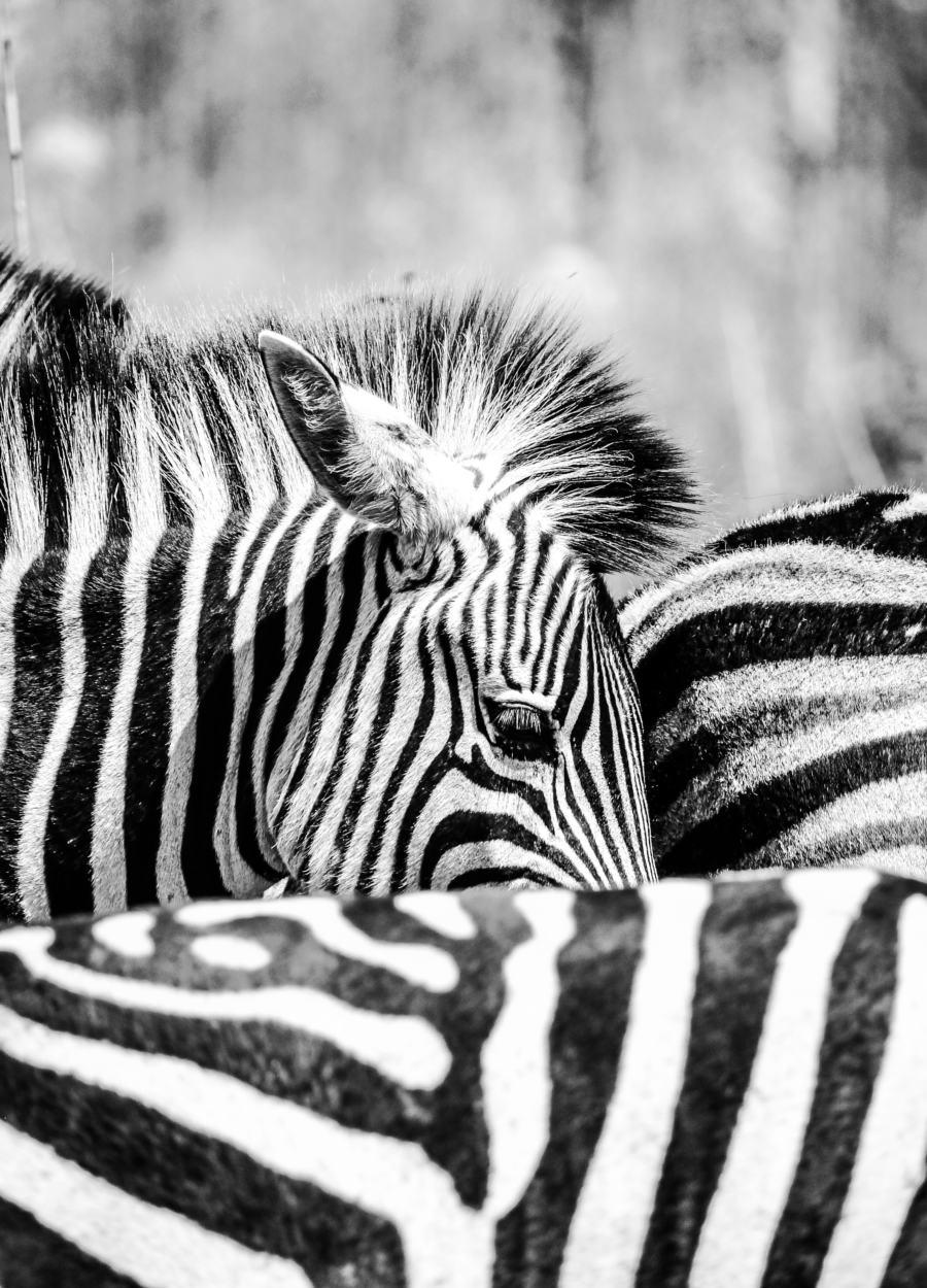 Spotting zebras in Mlilwane Forest Reserve