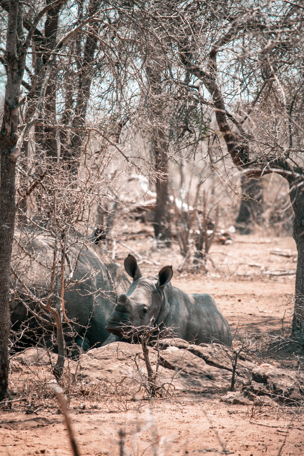 Baby rhino resting at Hlane National Park in Swaziland