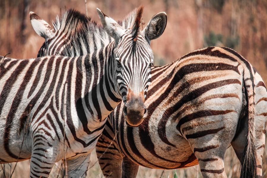 Zebras in Mlilwane Forest Reserve