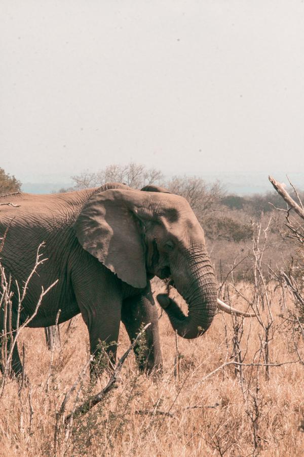Elephant at Hlane National Park