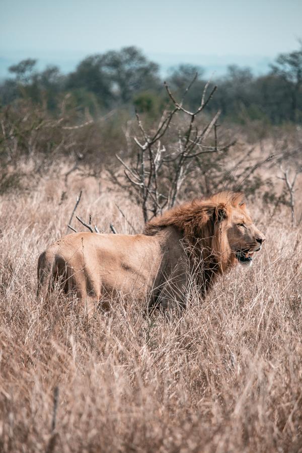 Lion enclosure at Hlane National Park in Swaziland