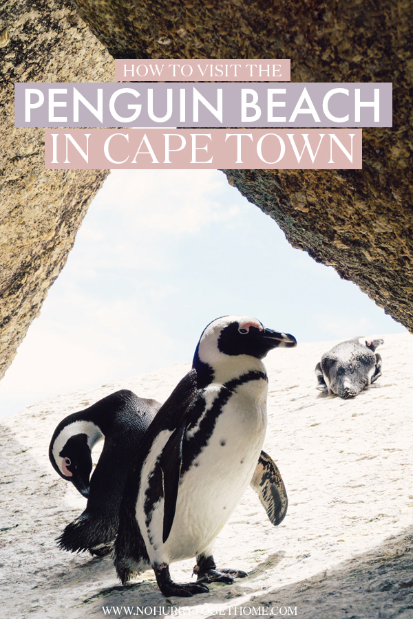 Visiting Cape Town soon and dreaming of seeing penguins at the beach? If you're wondering how to visit Cape Town's Penguin Beach, officially named Boulders Beach, this travel guide has you covered!