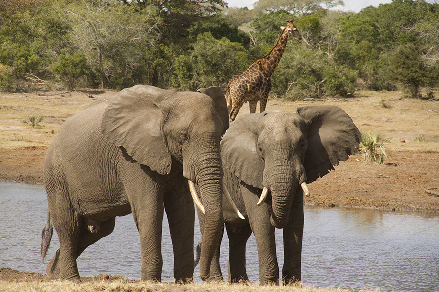 Tembe Elephant Park has some of the largest elephants in the world