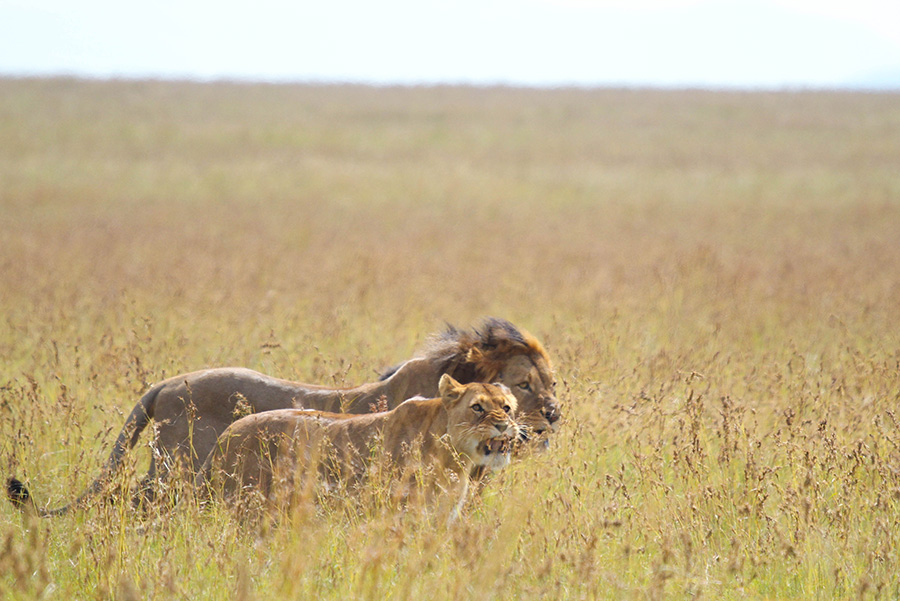 Nambiti Private Game Reserve is the best place for a safari if you want to see lions