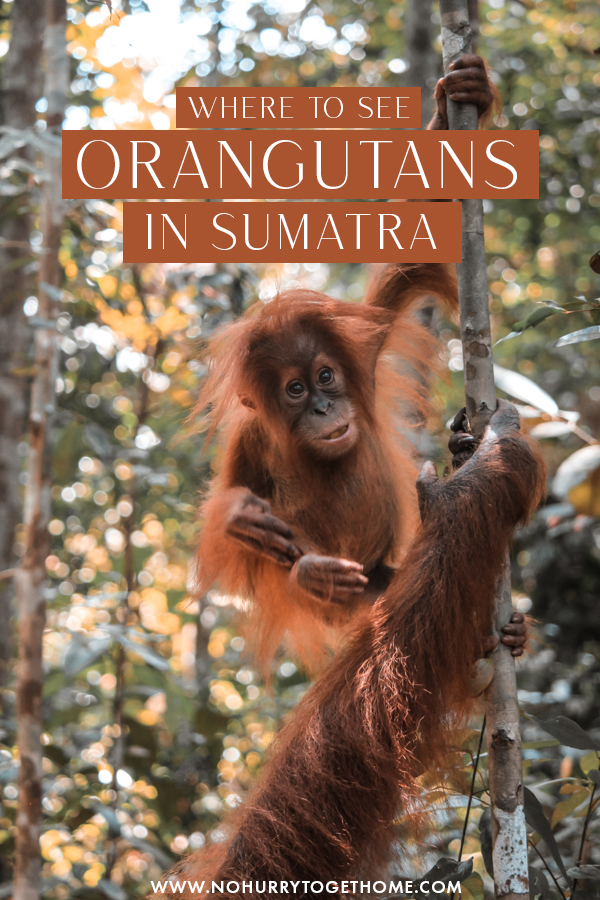 Ever dreamed of seeing orangutans in the wild? There's a magical travel destination in Sumatra where you can do just that! If you love wildlife experiences and are looking for the best destination to see orangutans in Southeast Asia, then Bukit Lawang in Sumatra, Indonesia might be just for you! #Orangutan #Indonesia #Sumatra