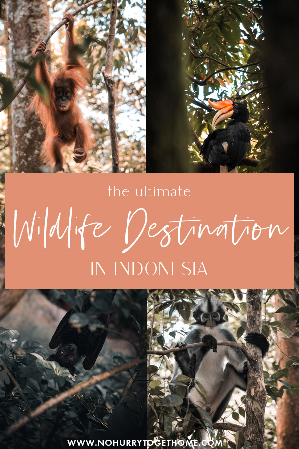 Traveling to Indonesia soon? If you've ever dreamed of seeing some of the most amazing wildlife the earth has to offer, Sumatra is one of the best wildlife destinations in the world! From orangutans to hornbills, and much more, this is the ultimate wildlife destination in Southeast Asia for nature and animal enthusiasts! #Indonesia #Sumatra #Asia