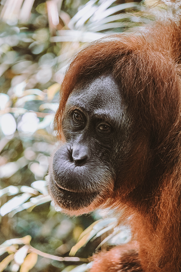 Jackie, one of the most famous orangutans in Bukit Lawang