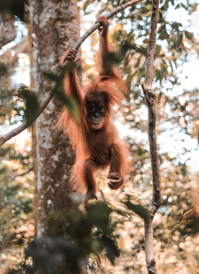 Baby Orangutan in Gunung Leuser National Park in Sumatra