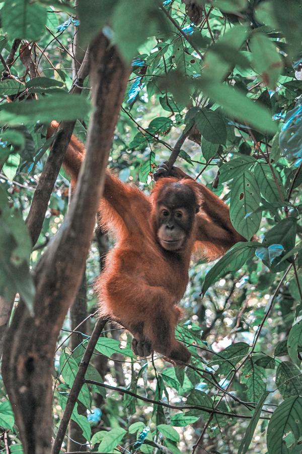 Valentino, an orangutan of Bukit Lawang